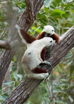 Sifaka Kiss by White-Voodoo