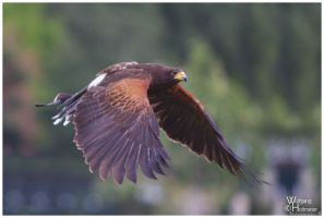 The Flight of the Harris Hawk by W0LLE