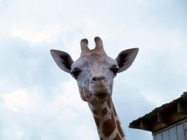 Giraffe Face by Irie-Stock