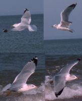 Seagulls 2 by stormlor