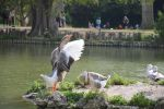 Goose charmed by the male with spectators by A1Z2E3R
