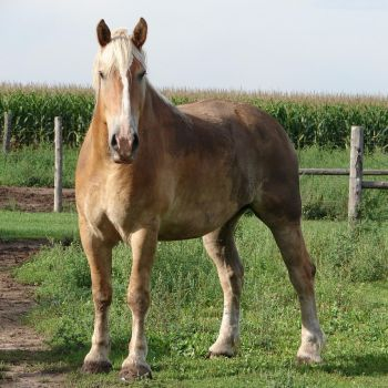 Equine Belgian Horse 13 by FantasyStock