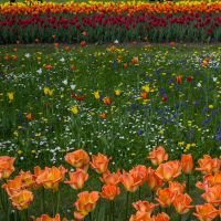 13-05 tulip field #3 by evionn