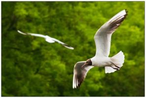 gull by pap911