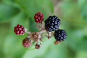 Blackberries by organicvision