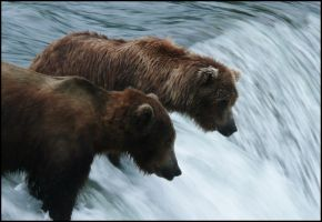 bears looking for fish by pueppcheen1990