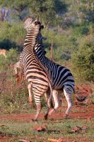 Young zebras at play by rbompro1