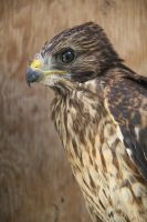 Red Souldered Hawk by 21Momo21