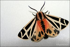 Ornate Tiger Moth by UffdaGreg