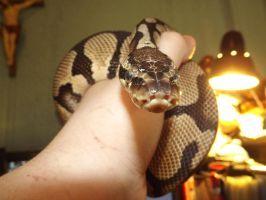 Ball Python 2 by OutOfPlaceWhiteBoy