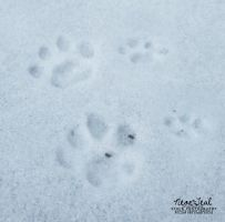 STOCK: Pawprints in Snow by NEONxTEAL