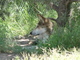 LD August 14: Mexican Wolf 20 by FamilyCanidae