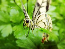 Butterfly 3 by kouki1