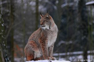 Lynx / Luchs 9 by bluesgrass