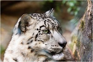 SnowLeopard by WhiteSpiritWolf