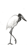 Ink Jabiru Stork by Kiulani