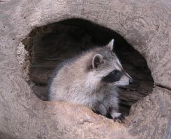 Young Raccoons 20a by Windthin