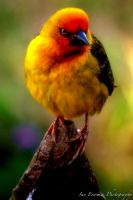 Angry Bird by stval