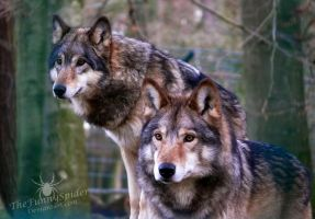 Two Wolves :) by TheFunnySpider