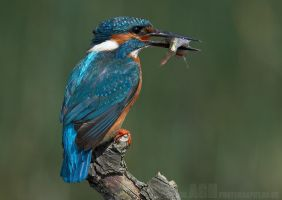 Kingfisher with Prey by Albi748