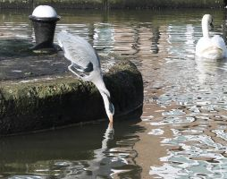 Heron drinking by loganmiracle