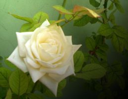 White Rose in Spring... by Villenueve