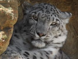 Snow Leopard 1 by taubu-lion