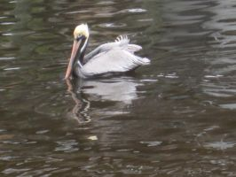 Brown Pelican 79 by AxelHonoo