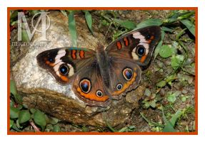 Butterfly - Comon Buckeye by microcosmos