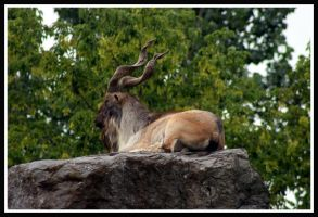 Markhor by ambermac148