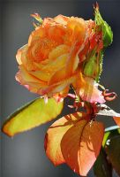 Every rose has it's thorn. by Nile-Paparazzi