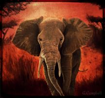 African Elephant by gilly15