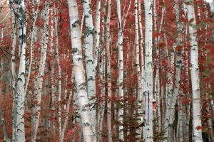Birch Woods by markroutt