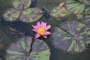 water lily by Luphia