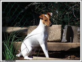 Jack Russell by Dominick-AR