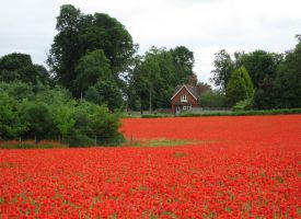 Field of Poppies by polarpete