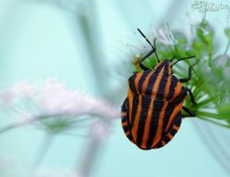 Graphosoma lineatum by efeline