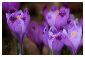wild crocus 2 by Floriandra