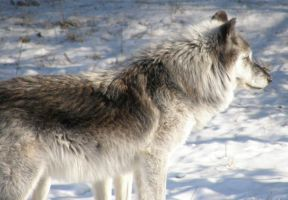 Gray Wolf IV by Fictionary