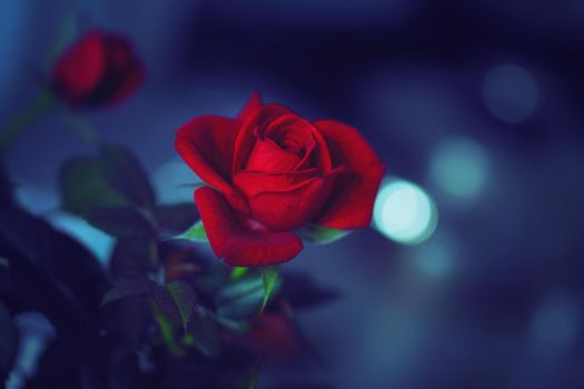 red rose blues by jagerion