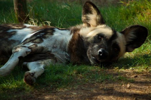 African Dogs 2 by Xerophaze