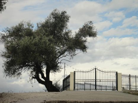 The wisdom and the resistance of an olive tree by artINvein