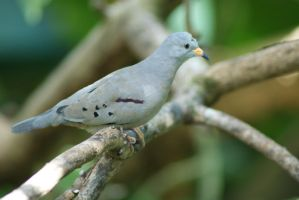 Peruvian Ground Dove by MicWits101