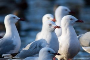 Seagull Crowd by ARC-Photographic