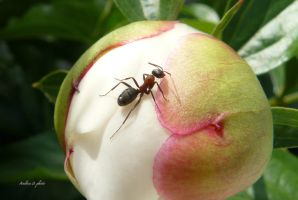 Ant and peony by andi40