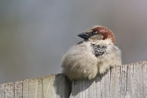 House Sparrow by Sonny2005