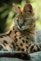 Serval by EliseJ-Photographie