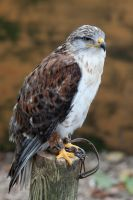 8807 - Ferruginous Hawk by Jay-Co