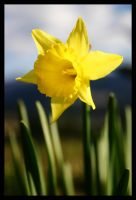 Daffodil by dropacidnotbombs