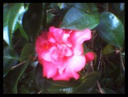 Camellia II by KnK-stock